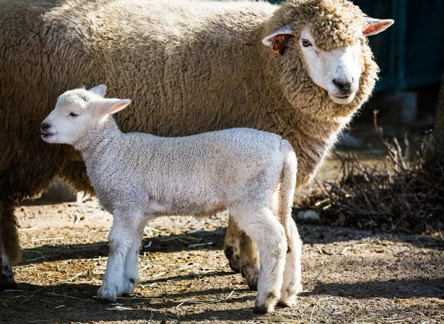 ぬいぐるみみたいな羊の親子,ぬいぐるみ,クッション,かわいい
