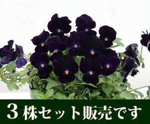 ビオラ ピエナ ブラック3 ポットセット ,花,栽培キット,簡単