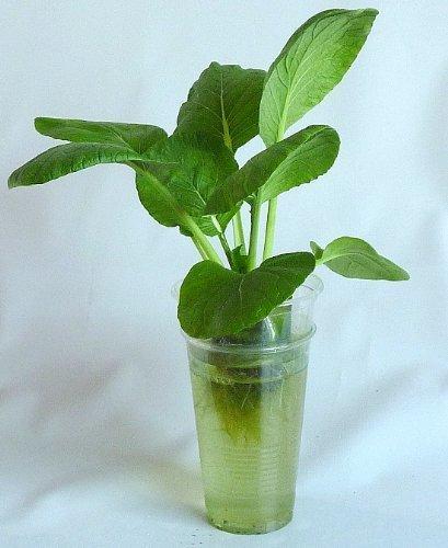 家庭用 野菜の水耕栽培キット「窓際族」(窓辺で小松菜),野菜,栽培,簡単