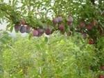 味覚狩りの果物,塚原山フルーツ農場ふかさわ,ふかさわ,バーベキュー