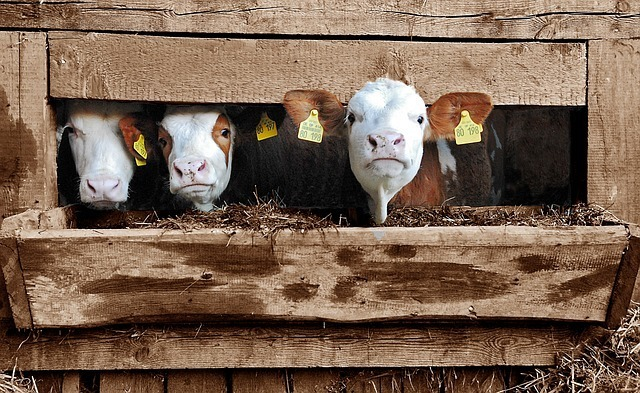 牛も出産のお手伝い,海外,子育て,事情