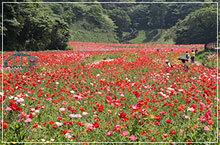 ポピー・コスモス園,くりはま,花の国,ゴジラ