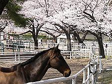 園内の桜と馬,世田谷,公園,おすすめ