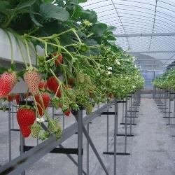 いちごの高設栽培,静岡,いちご狩り,ストロベリーファーム太田農園