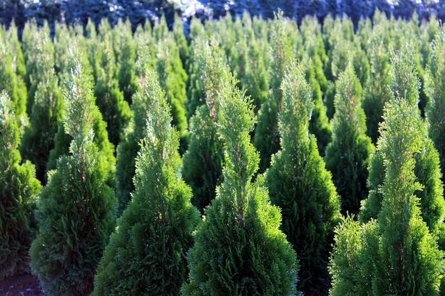 本物のモミの木,IKEA,クリスマス,インテリア