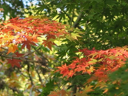 旧古河庭園,東京,紅葉,名所