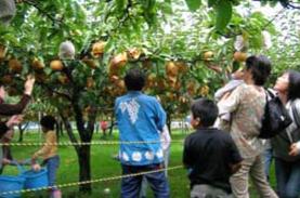 池田観光果樹園,梨狩り,新潟,おすすめ