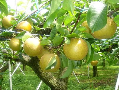 フルーツ王国やさかの梨,秋の行楽,梨狩り,京都
