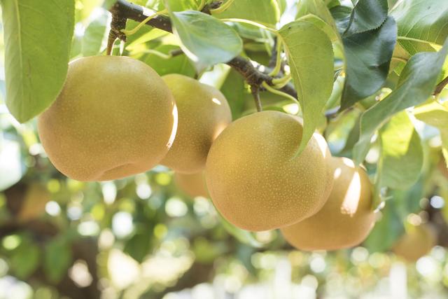 木になる梨,秋の行楽,梨狩り,京都