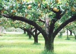 やまよし 林農園,長野県,梨狩り,子ども