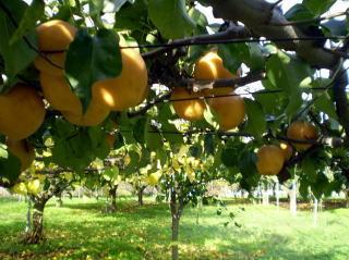 フルーツパーク久松農園の梨,茨城県,梨,秋の味覚