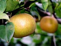 福田グリーン農園の梨,茨城県,梨,秋の味覚