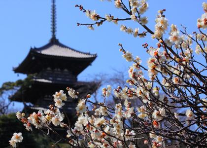 三渓園の梅の花,神奈川県,梅,名所