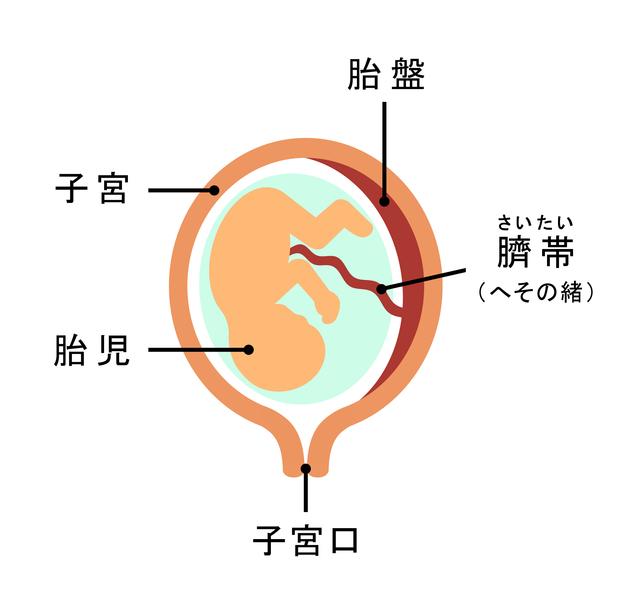 子宮内の様子,妊娠,12週,お腹