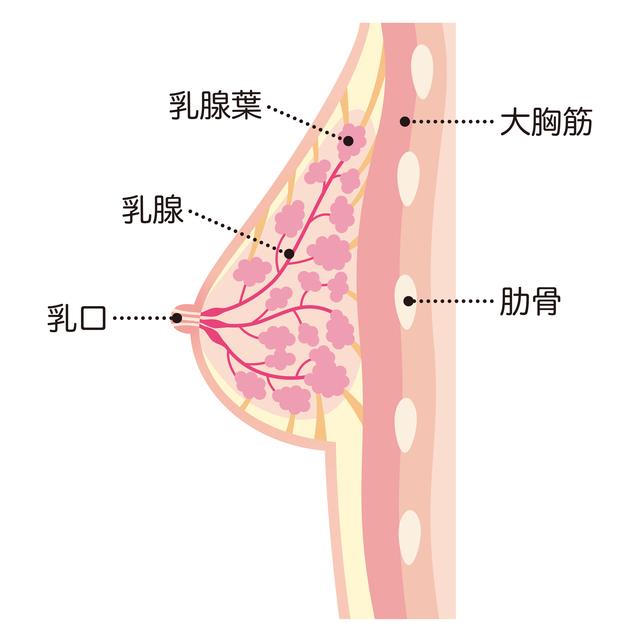 妊娠中の胸の断面図,妊娠,胸の張り,