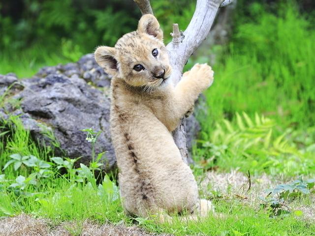 ライオンの赤ちゃん,男の子,名前,