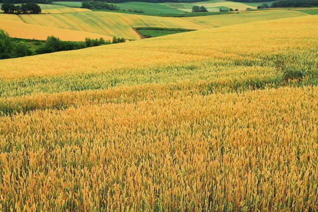 小麦畑,離乳食,食パン,