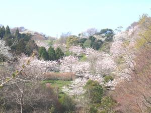 金沢動物園の桜,,,