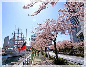 みなとみらいさくら通り、桜,神奈川,花見,名所