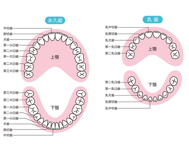 乳歯と永久歯,乳歯,永久歯,磨き方