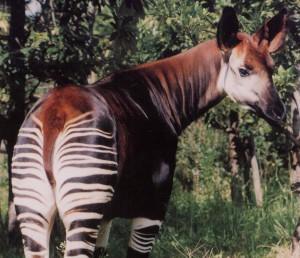 okapi copy