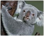 多摩動物公園のコアラ