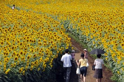 東京の穴場「清瀬ひまわり畑」の画像
