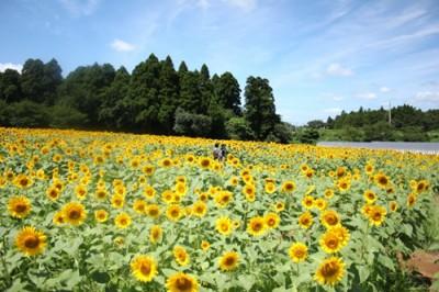 千葉県ひまわりの名所「成田ゆめ牧場」の画像