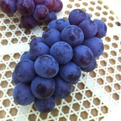 千葉のブドウの画像
