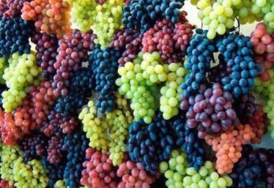 果物狩りのぶどうの画像