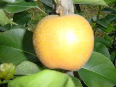 中込農園 梨の画像