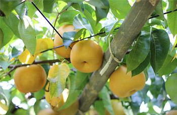 果物狩りにおすすめな関東茨城県の果樹園の画像01