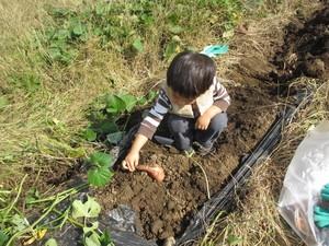 果物狩りができる関東の農園でサツマイモ掘りをする子どもの画像