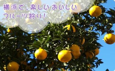 みかん狩りができる神奈川芝口果樹園の画像