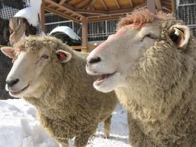 冬もイベント満載!北海道札幌、羊の画像