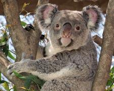 コアラのいる動物園のイメージ画像