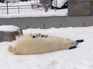 冬もイベント満載!北海道札幌、ホッキョクグマの画像