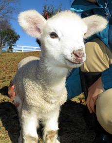 コアラのいる動物園の羊との撮影会のイメージ画像