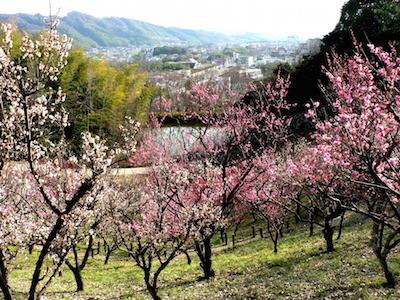 梅の花が見頃を迎える2月の大阪・錦織公園のイメージ画像
