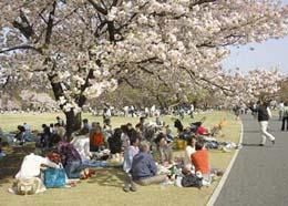 桜の名所東京花見御苑の画像