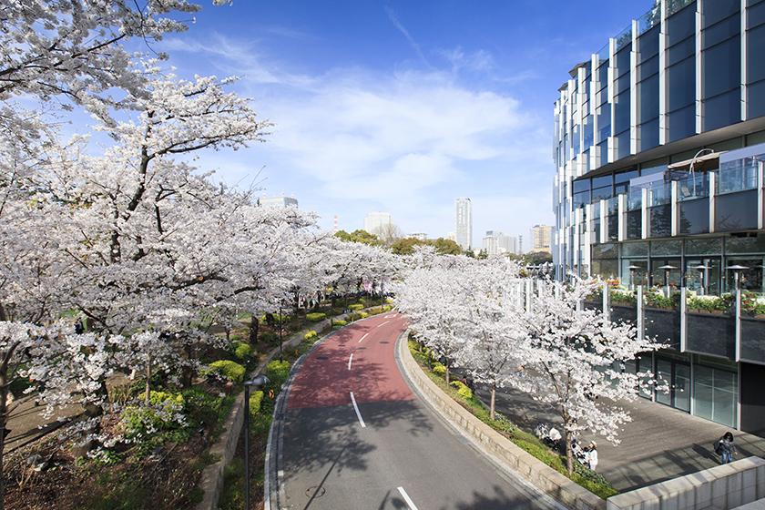 桜名所お花見スポット東京ミッドタウンの画像