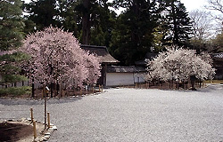 梅の花、仙台瑞巌寺の画像