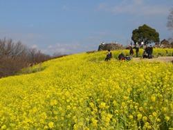 吾妻山公園菜の花