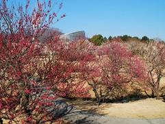 花の名所、梅まつり、小田原フラワーガーデンの画像