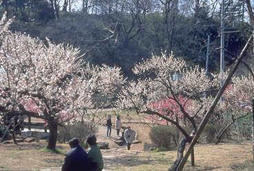 花の名所、梅まつり、大倉山公園の画像