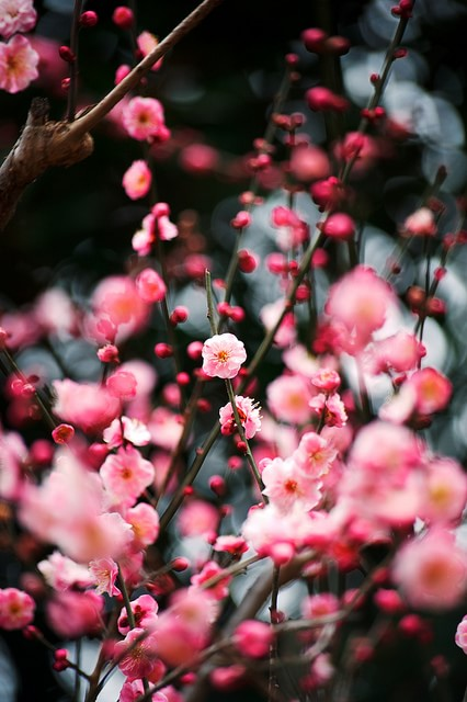 梅の花が咲く大阪のイメージ画像