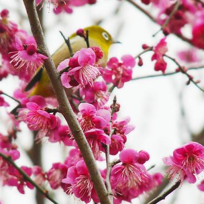 梅の花名所、花見東京、梅の画像
