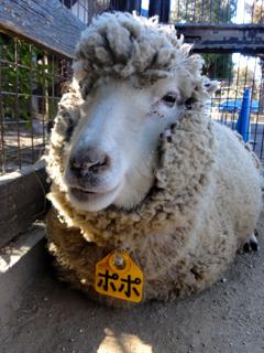 こども動物園、羊、ぽぽちゃんの画像