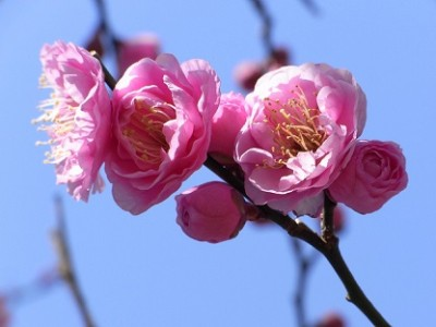 花の名所、梅まつり、梅の画像
