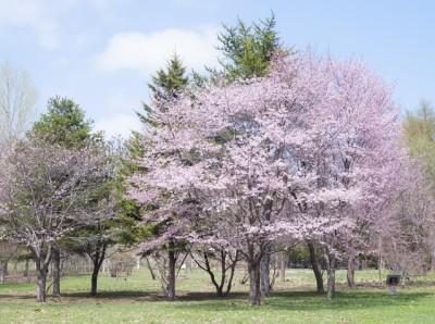 札幌の桜を観賞イメージ画像